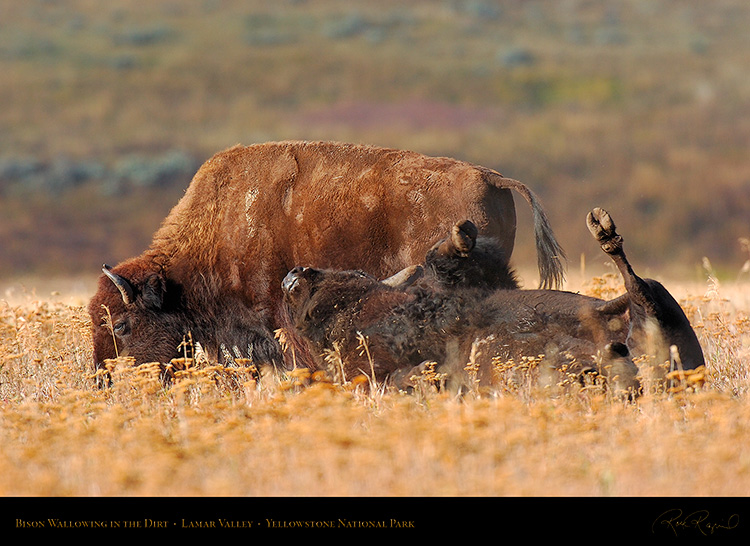 Bison_Wallow_LamarValley_8472