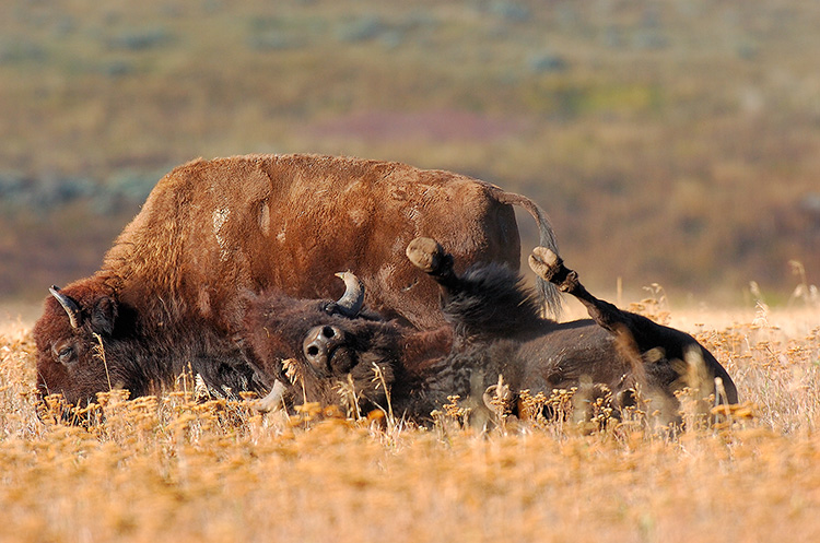 Bison_Wallow_LamarValley_8474