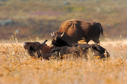 Bison_Wallow_LamarValley_8476