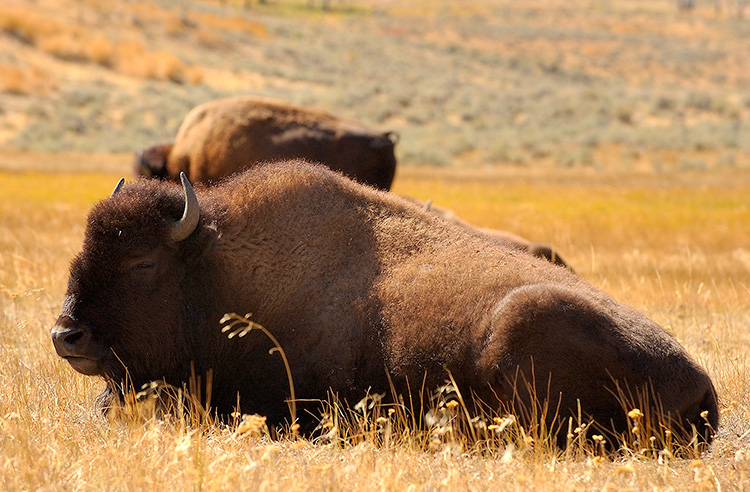 Bison_atRest_LamarValley_9932
