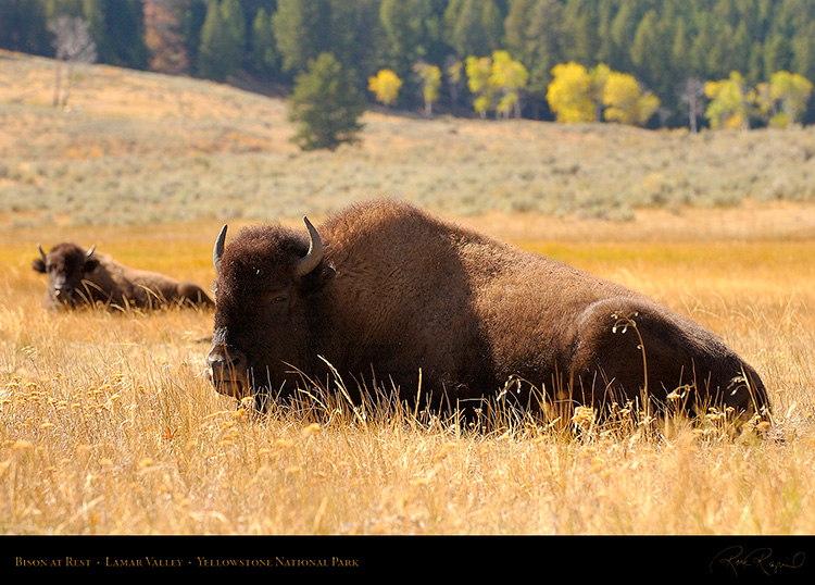 Bison_atRest_LamarValley_9946