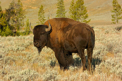 Bison_atSunrise_LamarValley_0274