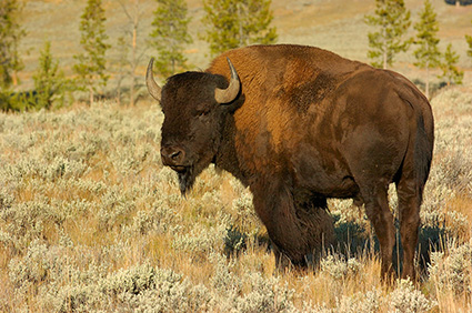 Bison_atSunrise_LamarValley_0275