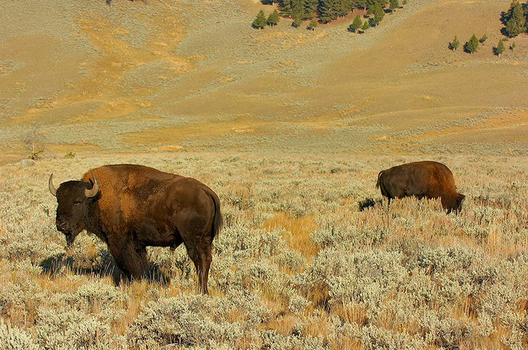 Bison_atSunrise_LamarValley_0278