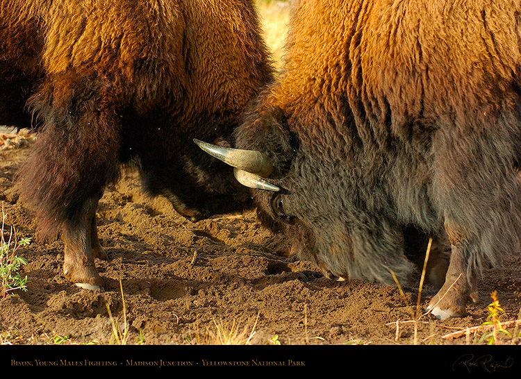 BisonFight_MadisonJunction_0995