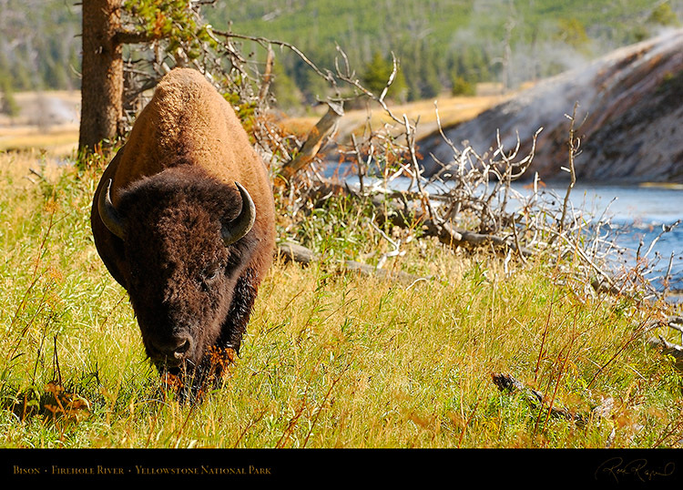 Bison_FireholeRiver_8713