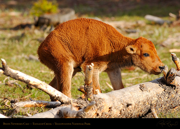 Bison_NewbornCalf_7177