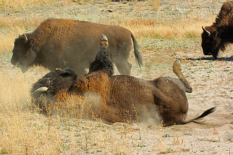 Bison_Wallow_HaydenValley_0479