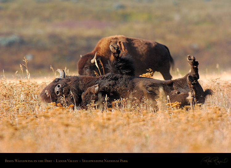 Bison_Wallow_LamarValley_8478