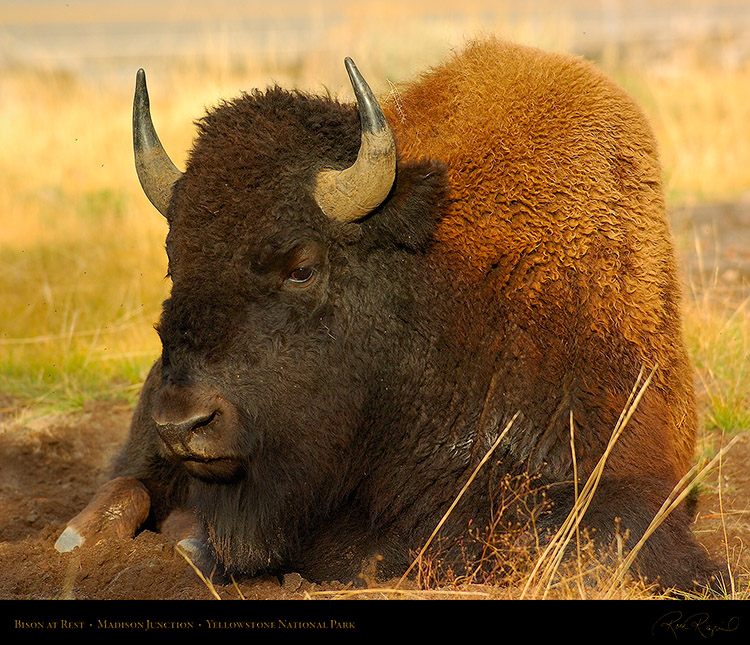 Bison_atRest_MadisonJunction_0928M