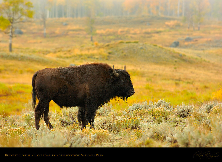 Bison_atSunrise_LamarValley_0235