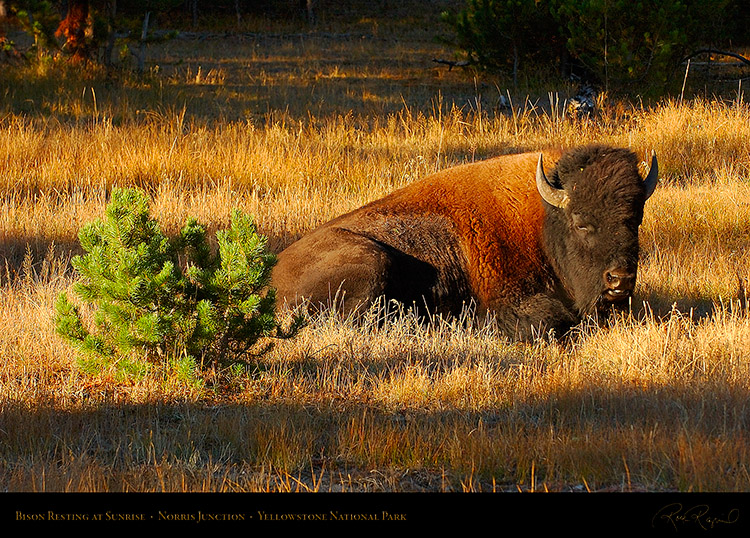Bison_atSunrise_NorrisJunction_1255