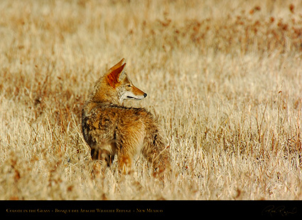 Coyote_in_theGrass_2602
