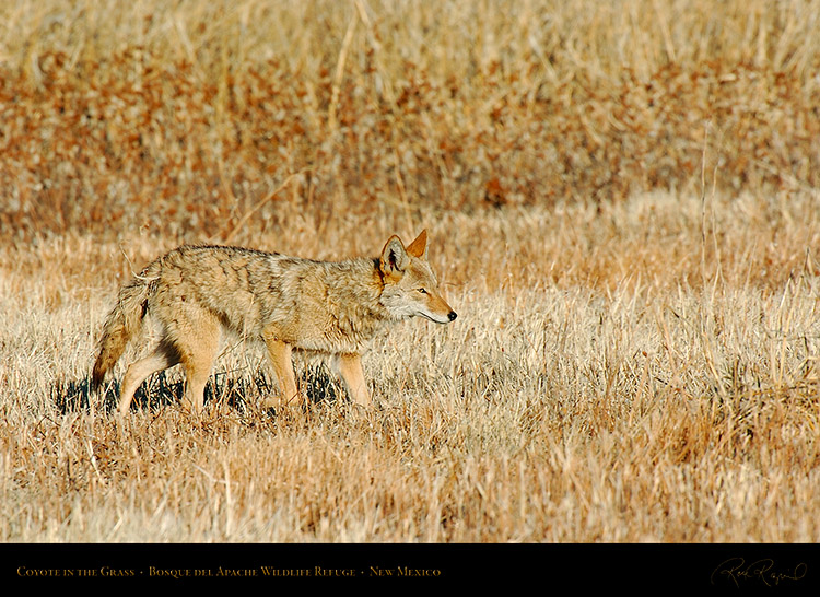 Coyote_in_theGrass_4226
