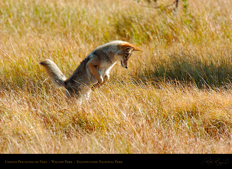 CoyotePounce_WillowPark_0621
