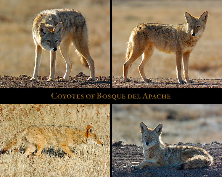 Coyote_Bosque