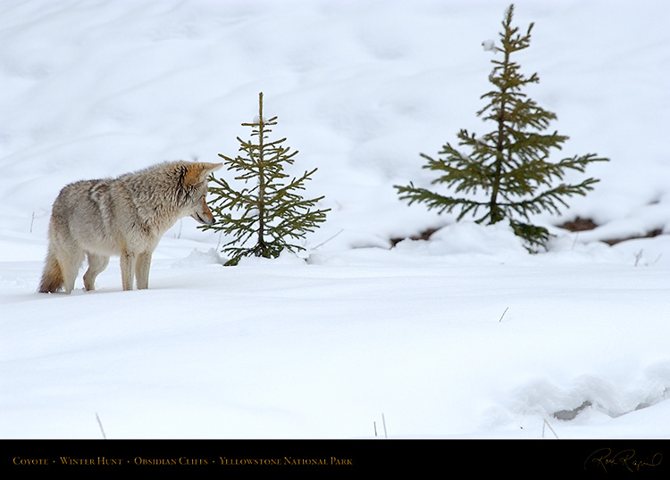 Coyote_WinterHunt_6836