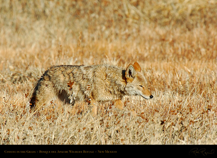 Coyote_in_theGrass_4227