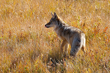 Coyote_TowerJunction_9297c