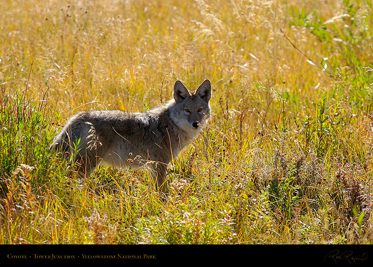 Coyote_TowerJunction_9308