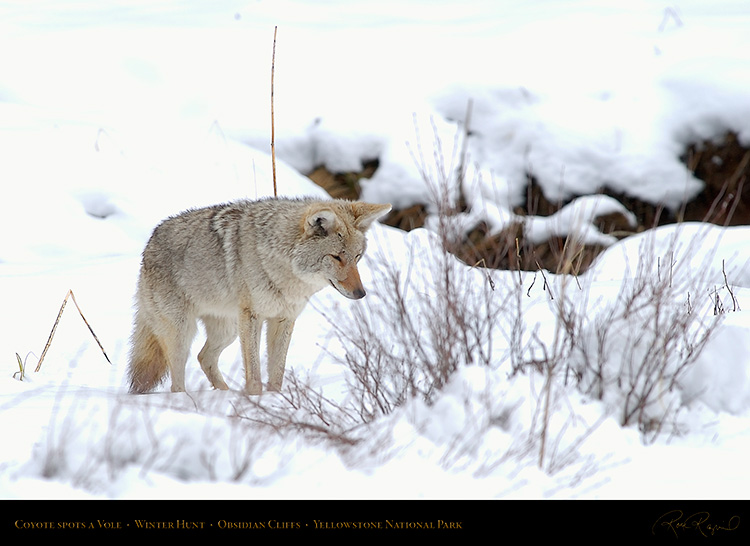 Coyote_WinterHunt_6784