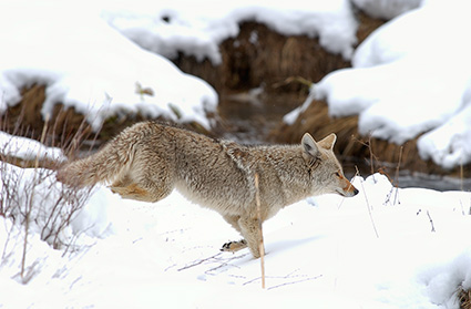 Coyote_WinterHunt_6804