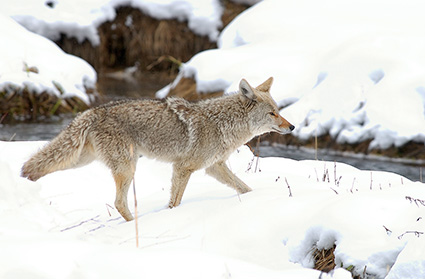 Coyote_WinterHunt_6805