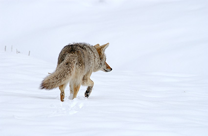 Coyote_WinterHunt_6823