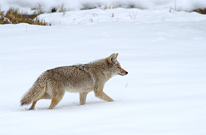 Coyote_WinterHunt_6827