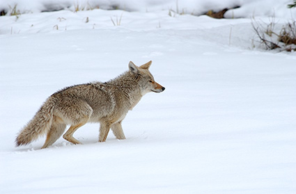 Coyote_WinterHunt_6829