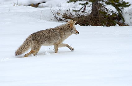 Coyote_WinterHunt_6831