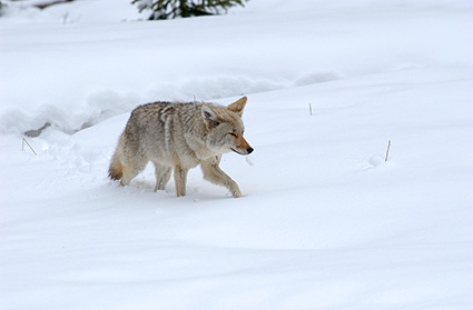 Coyote_WinterHunt_6841