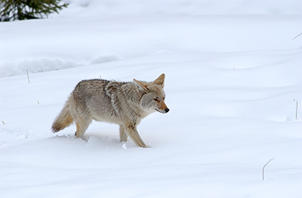 Coyote_WinterHunt_6843
