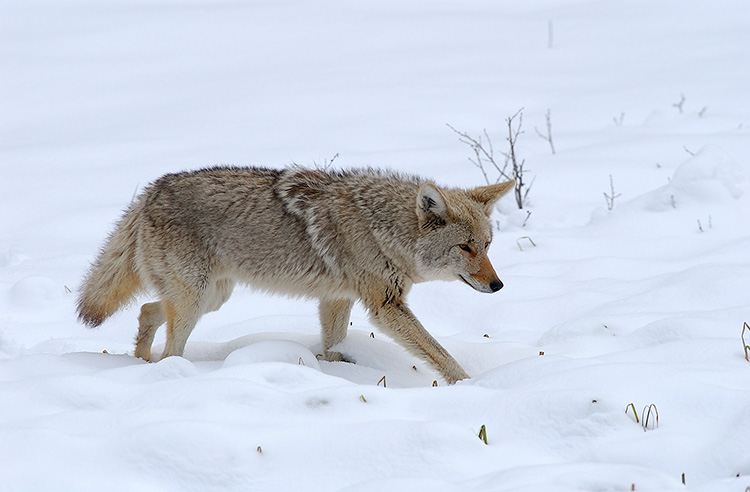 Coyote_WinterHunt_6846