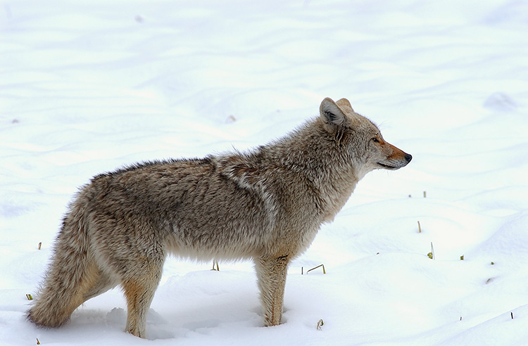 Coyote_WinterHunt_6849