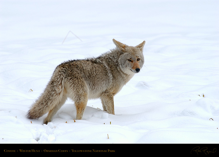 Coyote_WinterHunt_6855