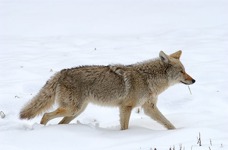 Coyote_WinterHunt_6860