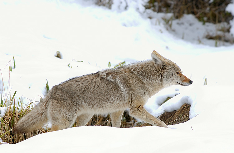 Coyote_WinterHunt_6866