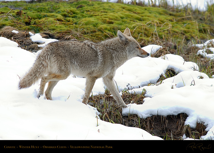 Coyote_WinterHunt_6877