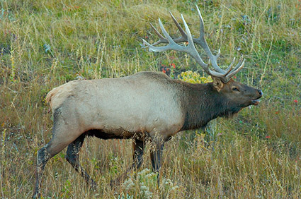 Elk_atDawn_LowerMammoth_0050
