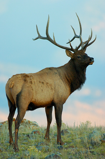 Elk_atDawn_LowerMammoth_0214