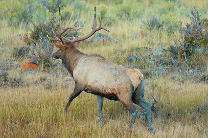 Elk_atDawn_LowerMammoth_7657