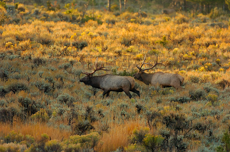 Elk_atSunrise_LowerMammoth_8032