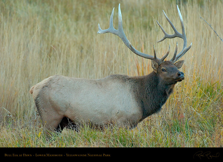 Elk_atDawn_LowerMammoth_0075