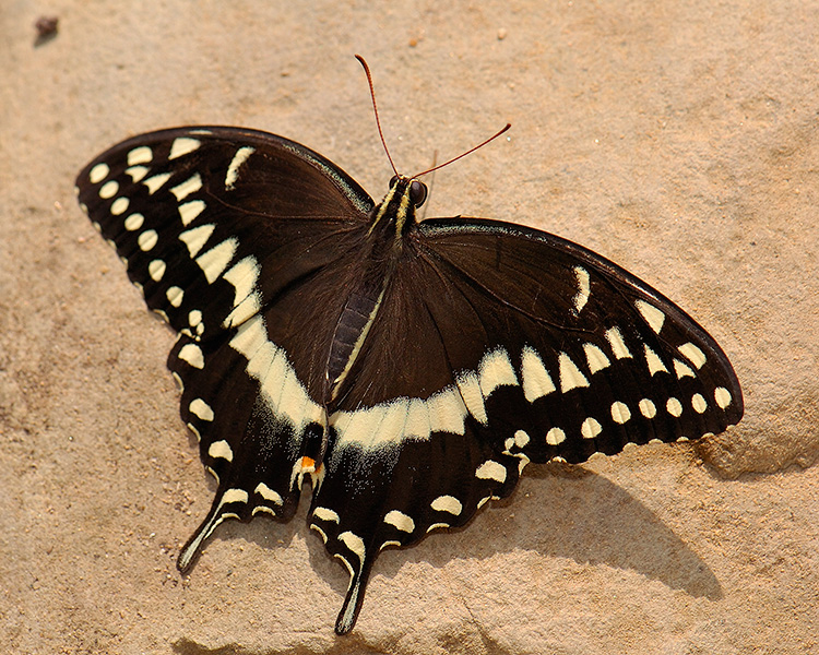 BlackSwallowtail_HS4343M
