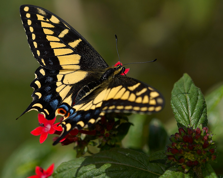 Anise_Swallowtail_X4356M