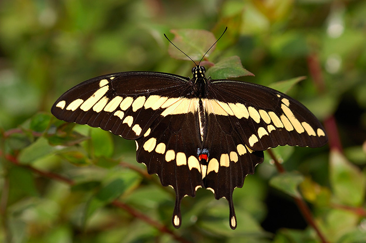 GiantSwallowtail_HS4259
