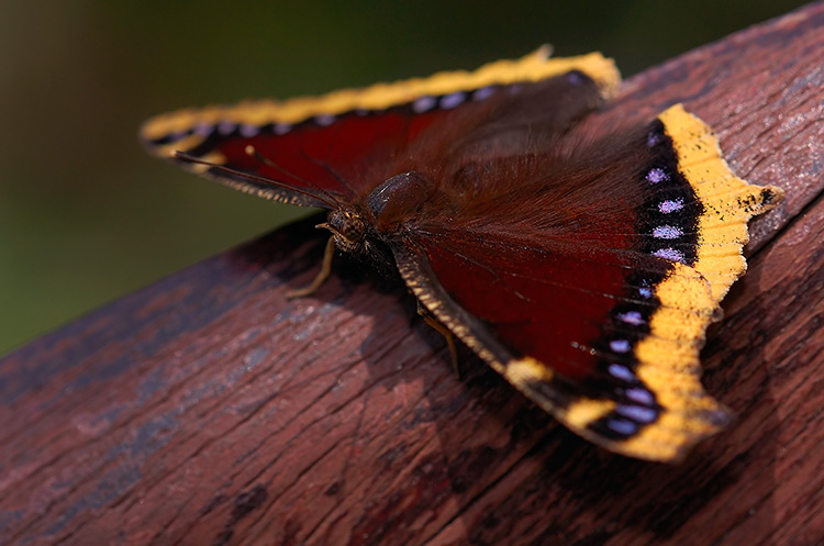 MourningCloak_HS4367