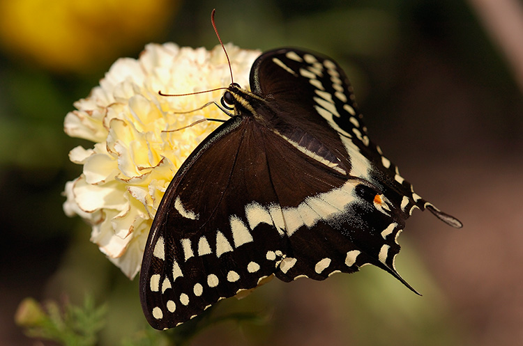 BlackSwallowtail_HS4321