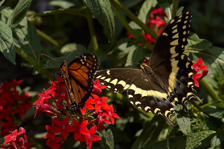BlackSwallowtail_Monarch_X4311
